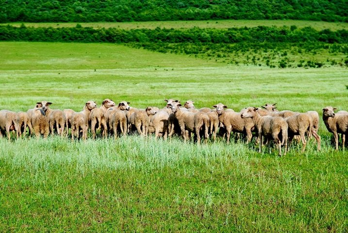 Herd of sheeps on the green field