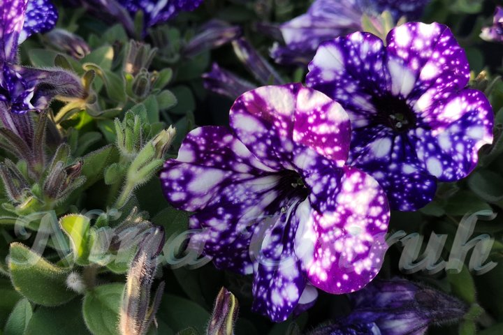 Close-up of two purple spotted flowers of petunias Night sky