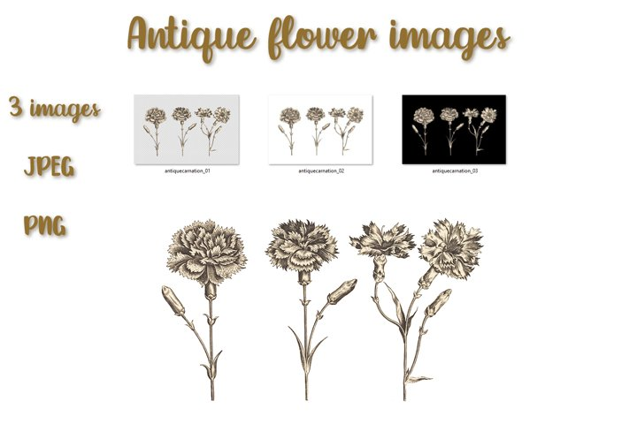 Floral illustration of carnation in antique style.