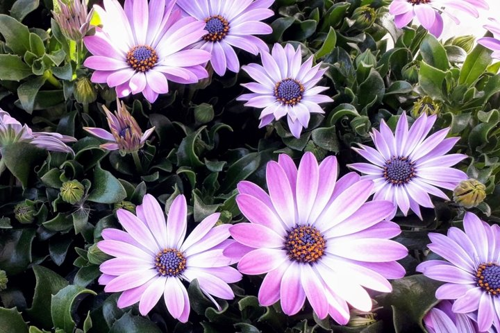 Flowers pictures Purple daisies 1