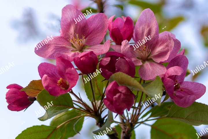 Pink apple tree flowers