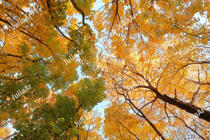 Tree Tops with yellow and green leaves in autumn season.