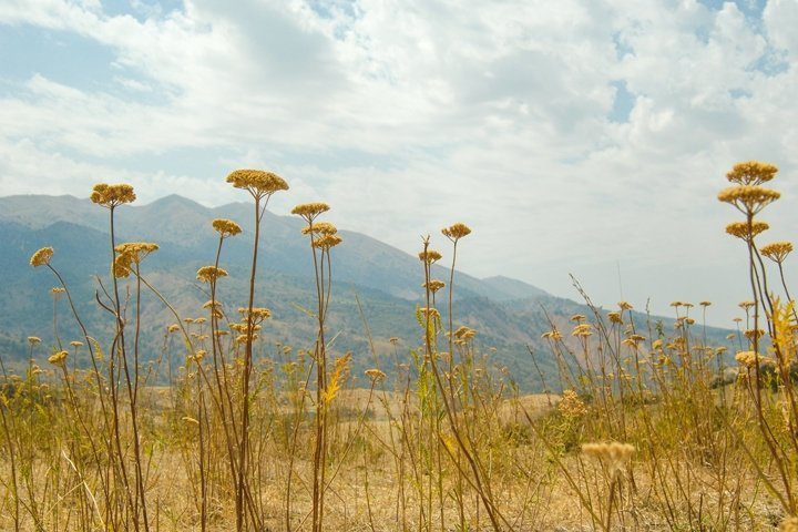Field of yarrow flowers. Nature of Central Asia