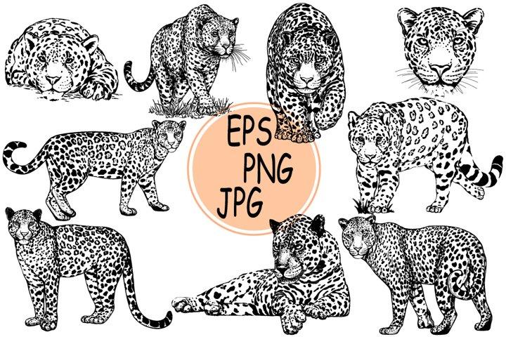 Leopards 5