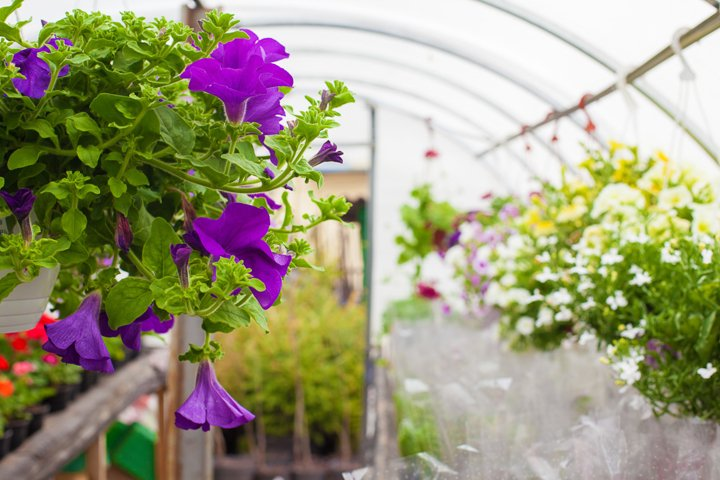 Multi-colored petunias are grown in a greenhouse