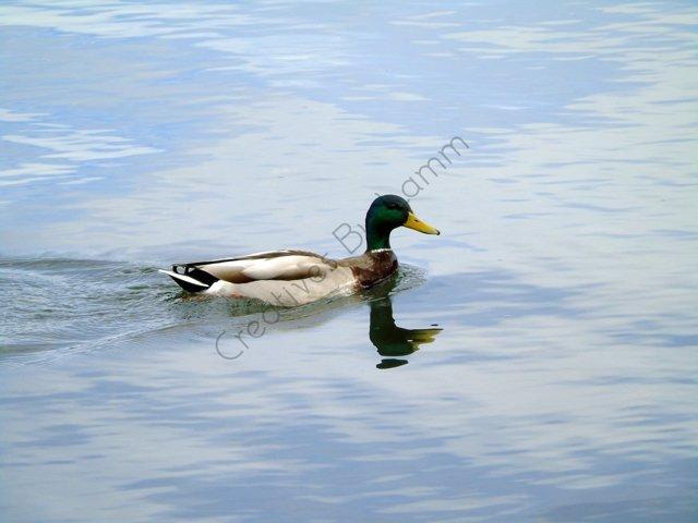 Duck Photograph