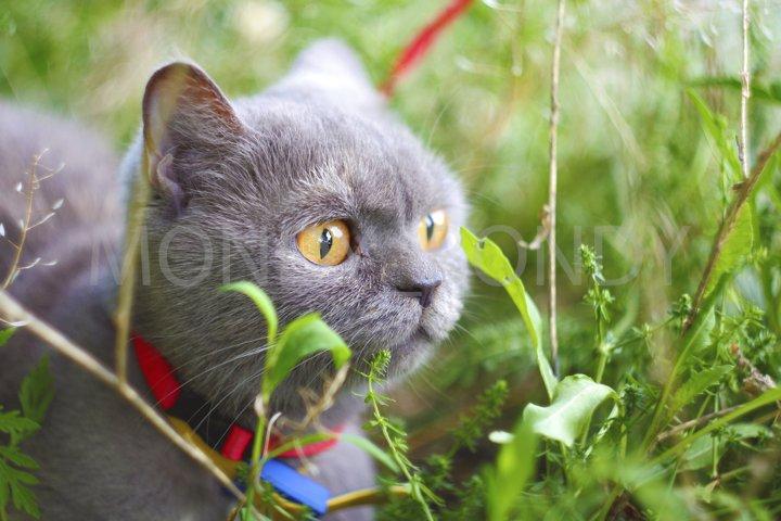 Scottish gray straight-eyed cat with yellow eyes