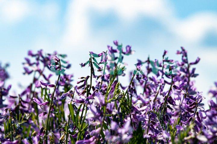 Wild lilac flowers. Blue sky. Close-up.