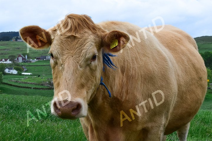 Breed of Angus cows