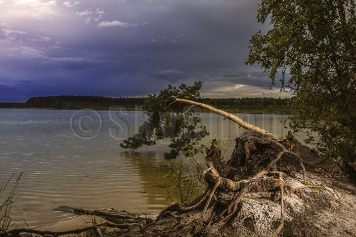 pine on the lake before a thunderstorm