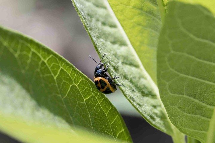 Orange ladybug on milkweed leaf