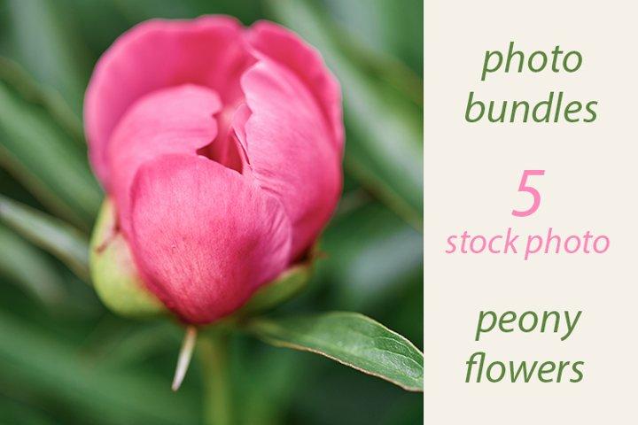 peony flowers. stock photo bundles