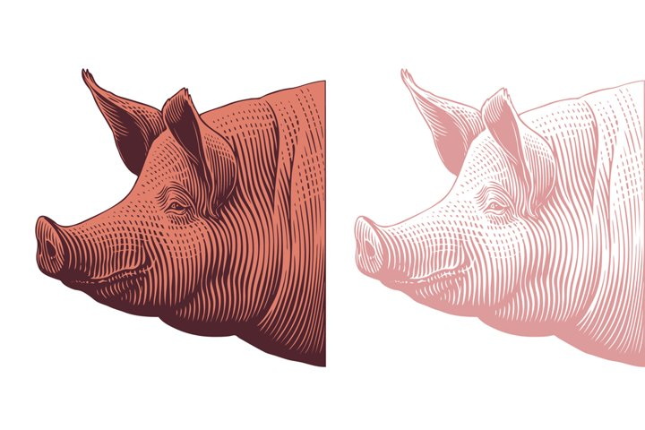Pigs head. Hand drawn illustration. Vector engraving.