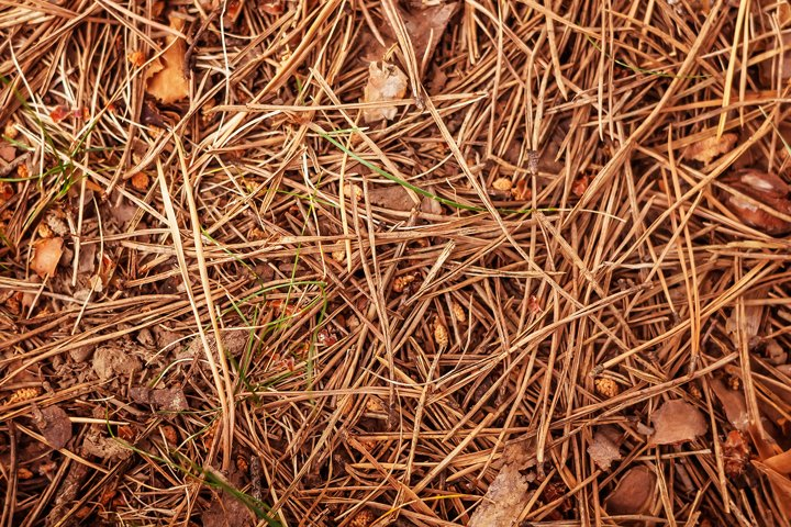 Dry pine needles on the ground and leaves. Autumn.