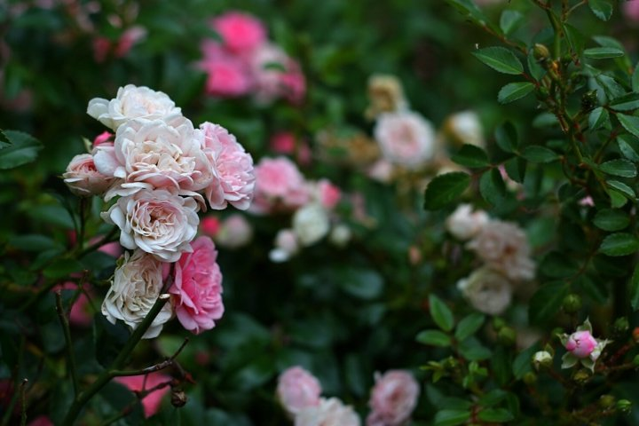 Pink garden roses backgrounds