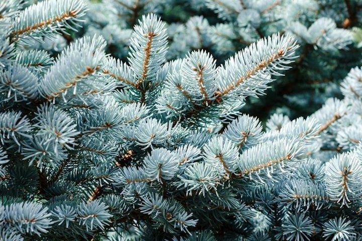 Blue spruce background. Coniferous tree.