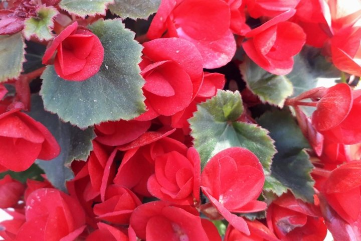 Flowers pictures Red begonias