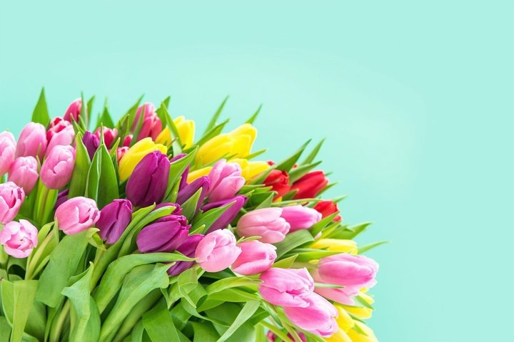 Tulip Flowers. Spring bouquet turquoise background
