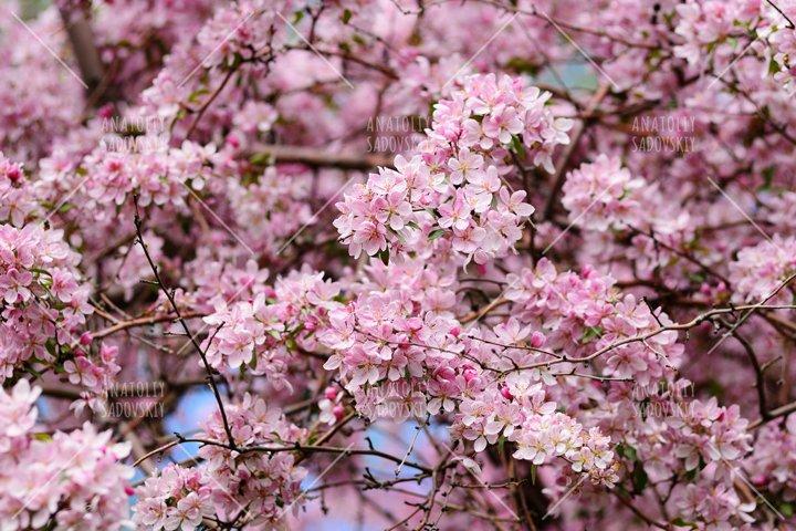 Pink blossom of cherry tree