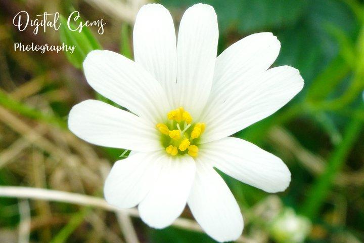 White flower, wild flower photograph
