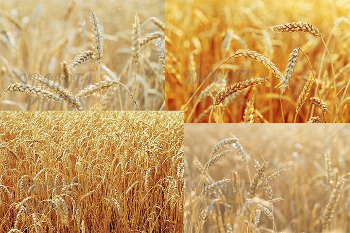 Gold wheat on field, natural scene, collection