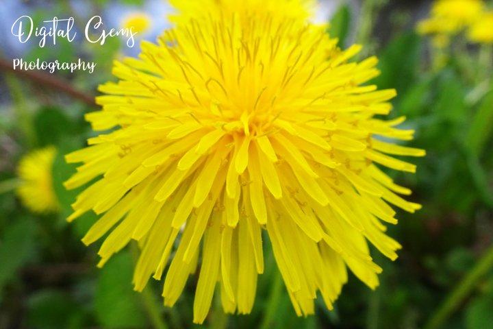 Dandelion photograph
