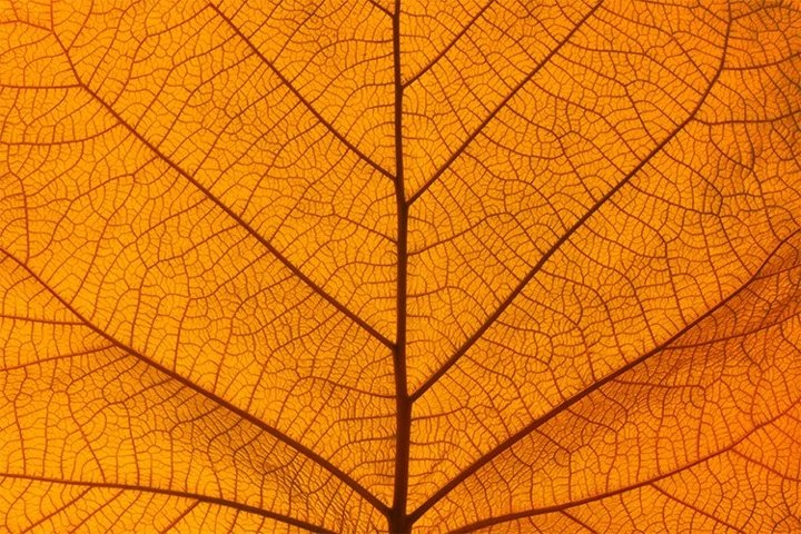 Background of Orange Autumn Leaf with Veins