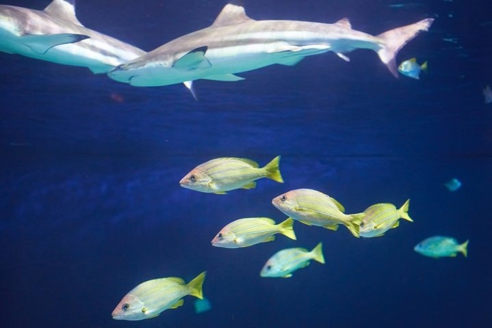 Caribbean reef shark Carcharhinus perezii in the blue ocean