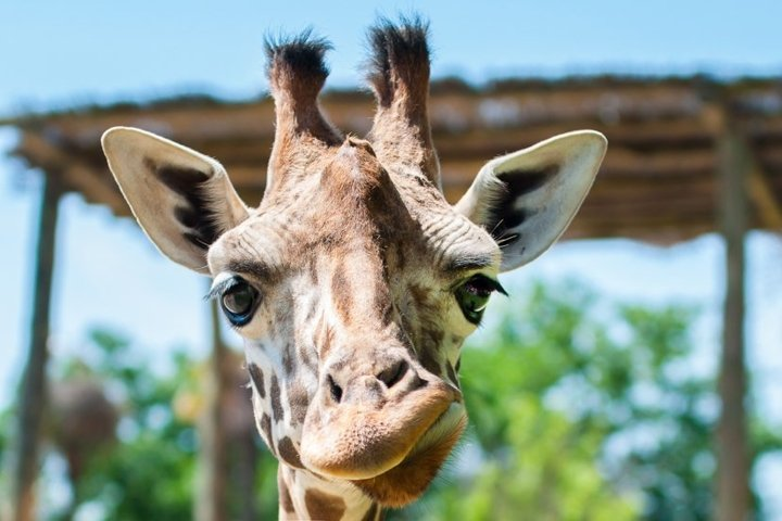 funny giraffe smiles and grimaces, builds his face, laughs