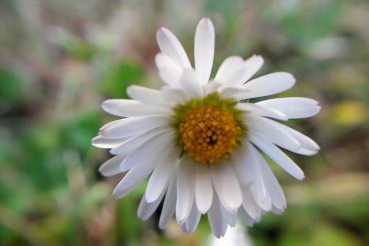 Daisy White flowers Garden plants