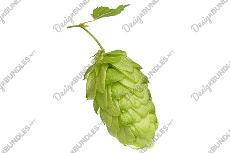 Fresh Green Hops Isolated on White Background example image 1