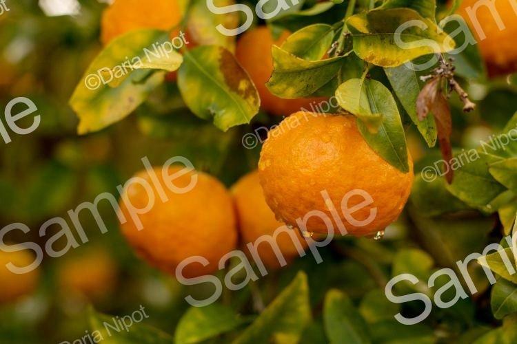 Mandarin / Tangerine tree after rain example image 1