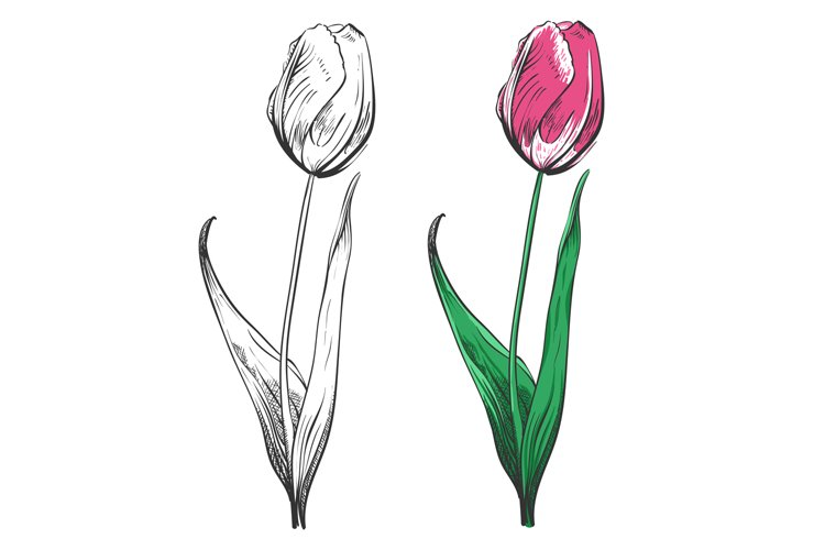 Tulip silhouette and colorful isolated on white background example image 1