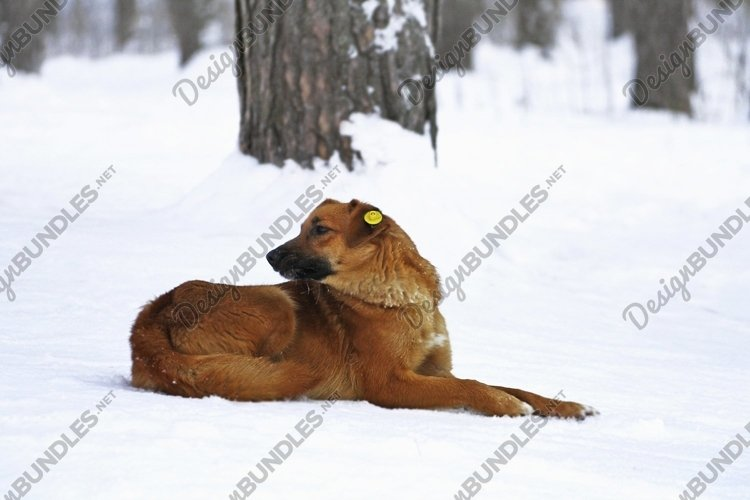A chipped stray dog lies in the snow. example image 1