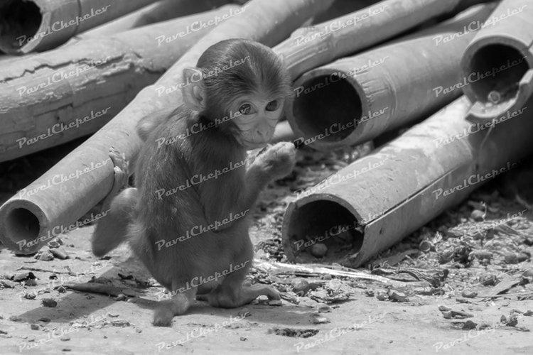Wild animals of Nepal- Monkeys
