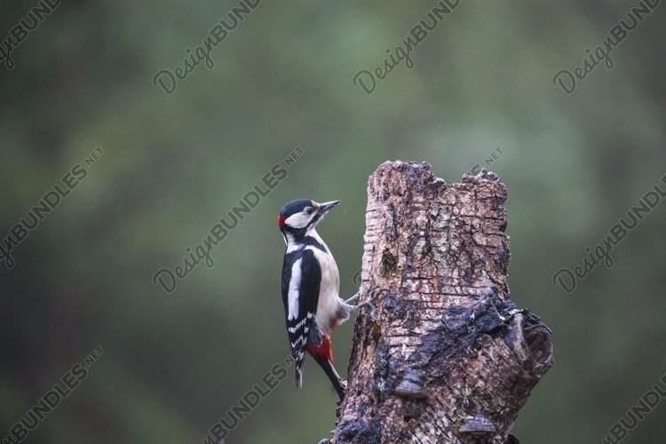 Cute Woodpecker sitting on tree. forest background example image 1
