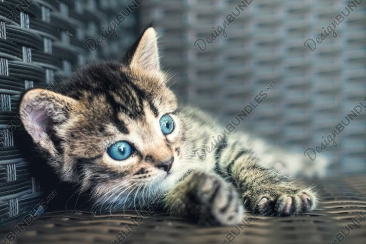 Tabby cat, small striped blue-eyed kitten example image 1