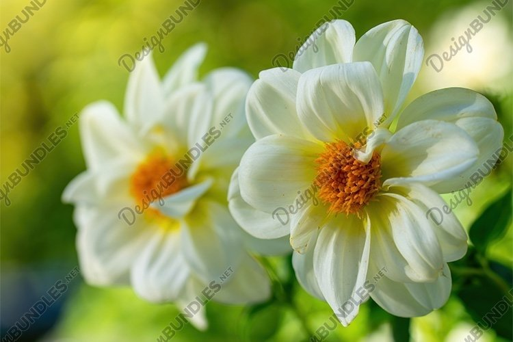 Stock Photo - Beautiful dahlia in the garden example image 1