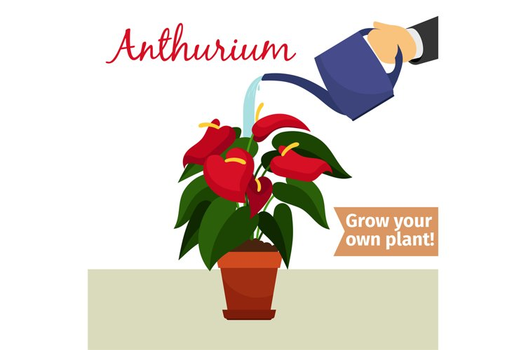 Hand watering anthurium plant example image 1