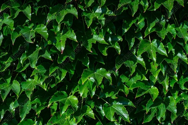 Evergreen Ivy plant example image 1
