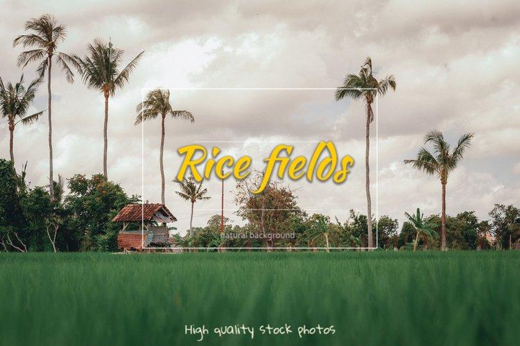 Rice fields. Bali.