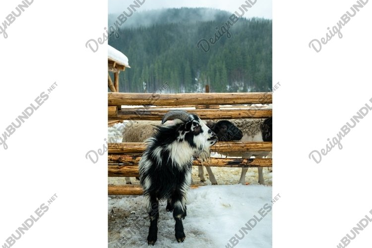 Goat in the stall of a wooden barn. Farm in Scotland example image 1