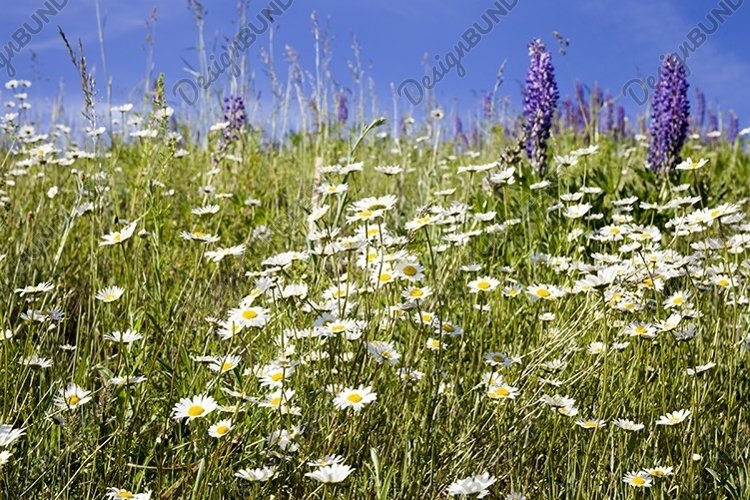 chamomile field example image 1