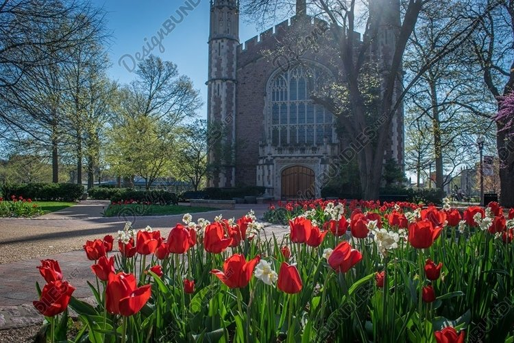 Red tulips in front of Graham Chapel in St Louis example image 1
