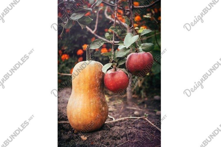 Ripe autumn pumpkin in a rustic vegetable garden example image 1