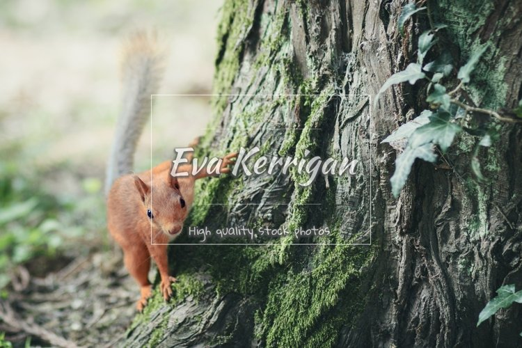 Picture with a fluffy red squirrel jumping on a tree. example image 1