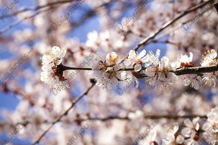 apricot in the spring garden example image 1