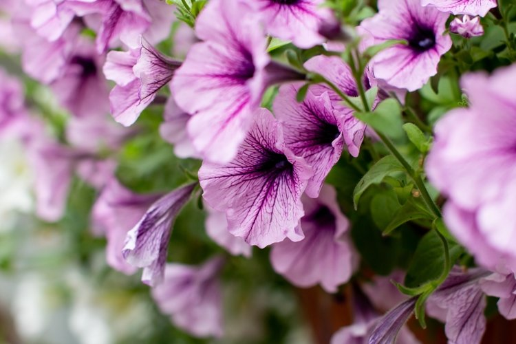 blooming pink Petunia example image 1