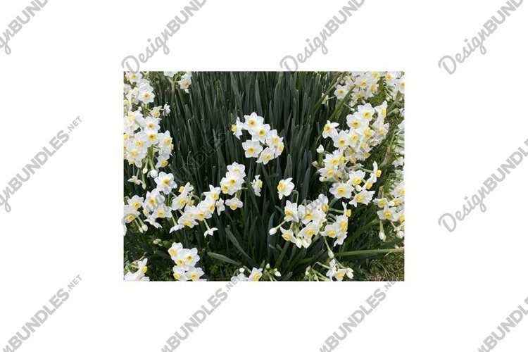 Photo of the Flower of Poet's Narcissi or Pheasant's Eye example image 1
