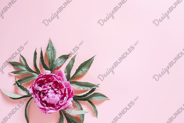 pink blooming peony flower on pink background. flat lay